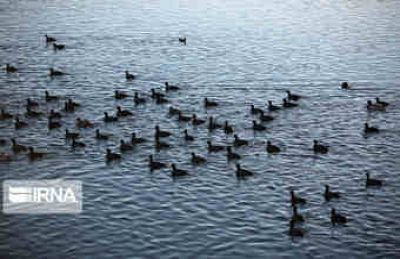 رییس اداره نظارت بر حیات وحش محیط زیست: سرشماری پرندگان مهاجر ایلام تا اواخر بهمن ادامه دارد